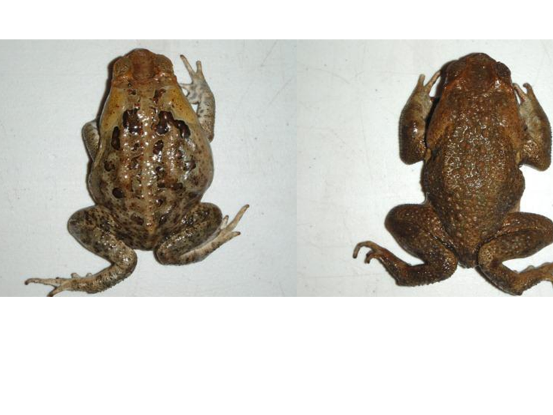 New Cane Toads Come To Dissection Connection Dissection Connection